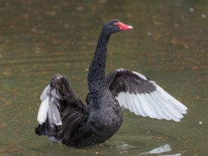 The Next Black Swan
